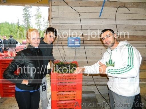 Работа на ферме в Финляндии. Сбор клубники, малины и овощей., Объявление #779426