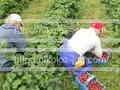Работа на ферме в Финляндии. Сбор клубники, малины и овощей. - Изображение #2, Объявление #779426
