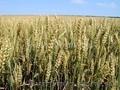 семена озимой пшеницы, универсальный очень урожайный сорт